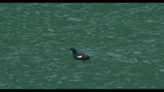 pigeon guillemot Cepphus columba on water from above Juneau