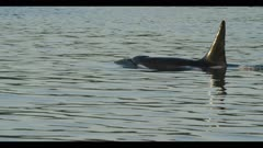 orca killer whale breaching south of Victoria, British Columbia evening