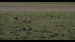 Sharp-tailed grouse on lek spring Benton Lake NWR early morning mating display wide