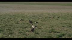Sharp-tailed grouse on lek spring Benton Lake NWR early morning mating display wide pan down