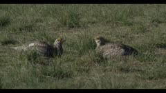 Sharp-tailed grouse on lek spring Benton Lake NWR early morning mating display close watch each other call display walk
