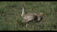 1 Sharp-tailed grouse on lek spring Benton Lake NWR early morning mating display close walk boom