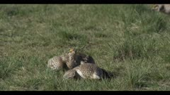 2 Sharp-tailed grouse on lek spring Benton Lake NWR early morning mating display close walk boom