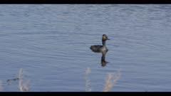 eared grebe swim spring breeding plumage in Benton Lake at Benton Lake NWR