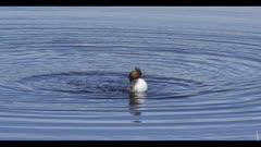 eared grebe swim bathe spring breeding plumage in Benton Lake at Benton Lake NWR