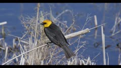 yellow-headed blackbird on cane calling spring breeding plumage Benton Lake NWR
