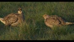 2 Sharp-tailed grouse on lek spring Benton Lake NWR dawn mating display close walk boom