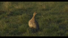1 Sharp-tailed grouse on lek spring Benton Lake NWR dawn stand look close