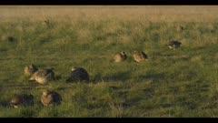 10 Sharp-tailed grouse on lek spring Benton Lake NWR dawn mating display wide