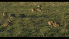 9 Sharp-tailed grouse on lek spring Benton Lake NWR dawn mating display wide