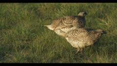 2 Sharp-tailed grouse on lek spring Benton Lake NWR dawn mating display walk