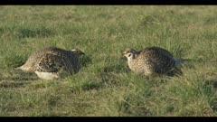 2 Sharp-tailed grouse on lek spring Benton Lake NWR dawn mating display