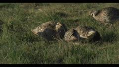 2 Sharp-tailed grouse on lek spring Benton Lake NWR dawn mating display boom call