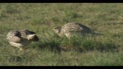 2 Sharp-tailed grouse on lek spring Benton Lake NWR early morning mating display call
