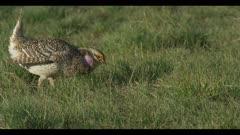 2 Sharp-tailed grouse on lek spring Benton Lake NWR early morning mating display boom eat