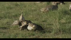 2 Sharp-tailed grouse on lek spring Benton Lake NWR early morning mating display boom