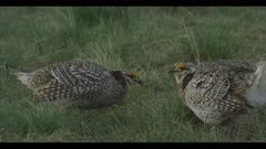 3 Sharp-tailed grouse on lek spring Benton Lake NWR early morning mating display boom walk