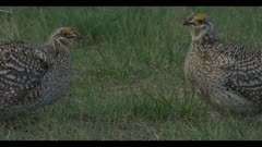 2 Sharp-tailed grouse on lek spring stand-off mirror each others actions Benton Lake NWR early morning mating display close