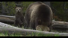 Beryl Springs sow and 2 new cubs 3-4 months old she eats cubs look stand sniff walk close