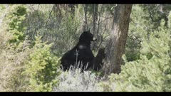 black bear sow with 2 brown colored cubs at base of tree mom sitting up and looking 1 cub starts to climb tree