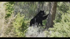 black bear sow with 2 brown colored cubs mom sends cubs up tree she looks for danger doesn't find any