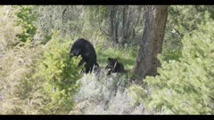 black bear sow with 2 brown colored cubs 1 cub on mom mom scratching then gets up