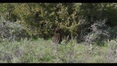 black bear cub eating juniper berries