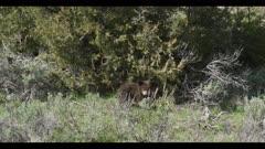 black bear cub eating juniper berries stands up looks