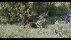 2 black bear cubs eating juniper berries and playing