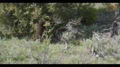 black bear cub eating juniper berries falls gets up