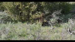 black bear cub eating juniper berries falls a couple of times