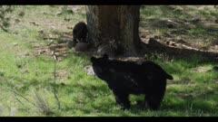 black bear female defecating