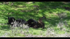 black bear female and 2 cubs 1 cub runs to mom all 3 play cubs run to tree and 1 climbs