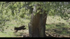 black bear female and 2 cubs 1 cub climbs down tree and runs to mom