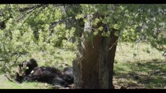 black bear female and cub mom grabs cub out of tree as she falls backwards playing