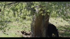 black bear female and cub second cub jumps out of tree to mom but misses and lands on the ground mom doesn't care and walks off with cub spread eagle on ground unhurt cub gets up and starts to climb tree