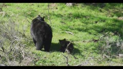 black bear female and 2 cubs 1 cub runs to mom and sibling and 2 cubs play
