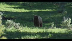 Cinnamon black bear boar eating