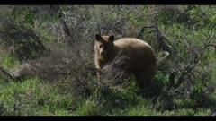 Cinnamon black bear boar eating amongst sage brush