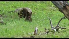2 black bear cubs playing cropped to 4K