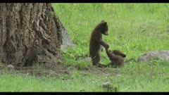 2 black bear cubs playing next to large Douglas fir 1 stands and looks down at the other cropped to 4K cute