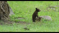 2 black bear cubs playing next to large Douglas fir 1 stands and looks around 1 walks away cropped to 4K