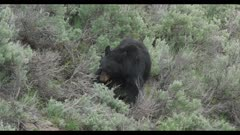 black bear digging for ants (?) cropped to 4K