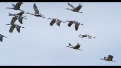 group of sandhill cranes flying close sunset slow motion
