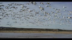 wide shot of snow geese taking off from pond right over camera audio