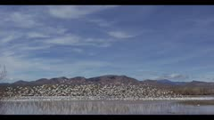 a bunch of snow geese take off from pond and then land on pond blue skies with some clouds wide