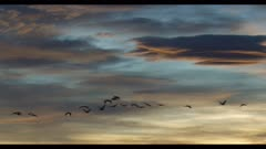 sandhill cranes flying after sunset in front of Altocumulus lenticularis clouds = really neat looking cloud