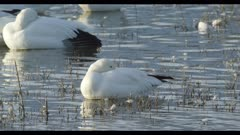 snow goose on pond resting head tucked in close nice evening light
