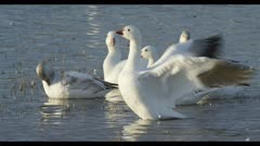 several snow geese on pond resting preening 1 bathing flapping wings close nice evening light