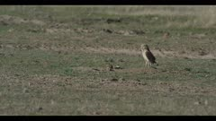 female burrowing owl in burrow male flies in and looks around for enemies